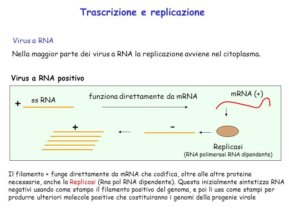 Trascrizione e replicazione Virus a RNA Nella maggior parte dei virus a RNA la replicazione avviene nel citoplasma. Virus a RNA positivo ss RNA + mRNA