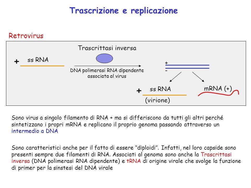 + ss RNA mRNA (+) +-+- Trascrittasi inversa DNA polimerasi RNA dipendente associata al virus + ss RNA (virione) Retrovirus Sono virus a singolo filame