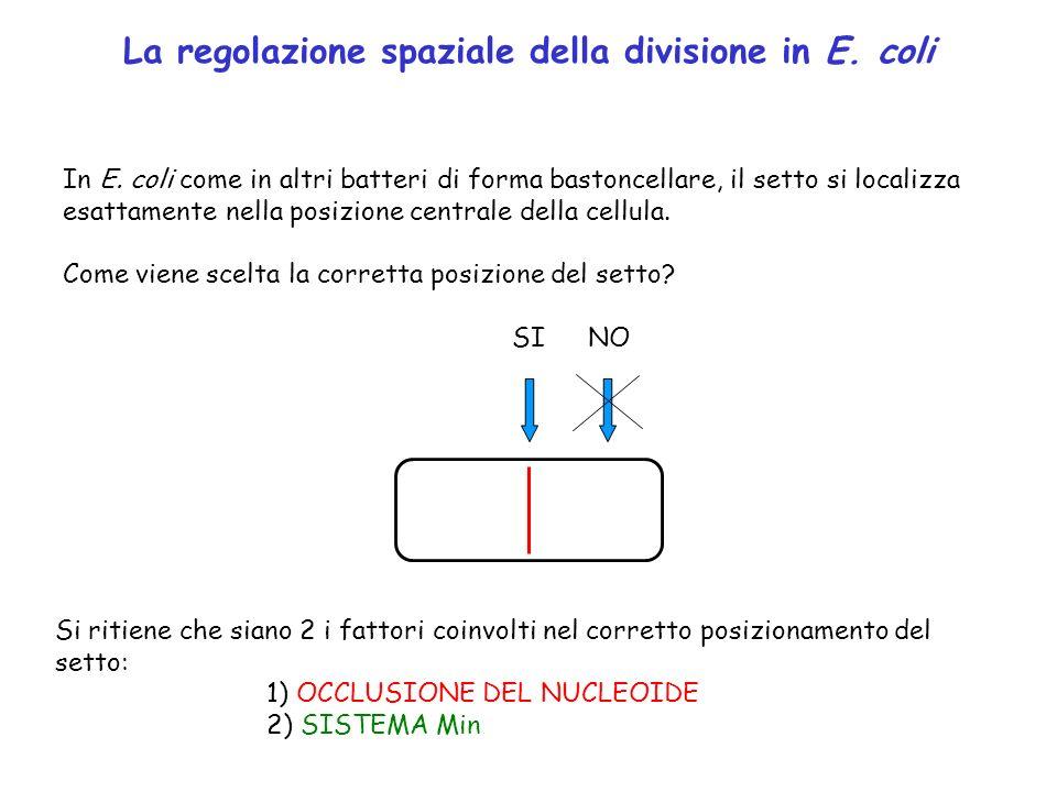 La regolazione spaziale della divisione in E. coli In E. coli come in altri batteri di forma bastoncellare, il setto si localizza esattamente nella po