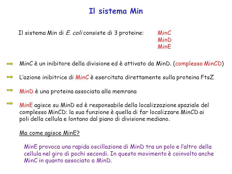 Il sistema Min Il sistema Min di E. coli consiste di 3 proteine:MinC MinD MinE MinC è un inibitore della divisione ed è attivato da MinD. (complesso M