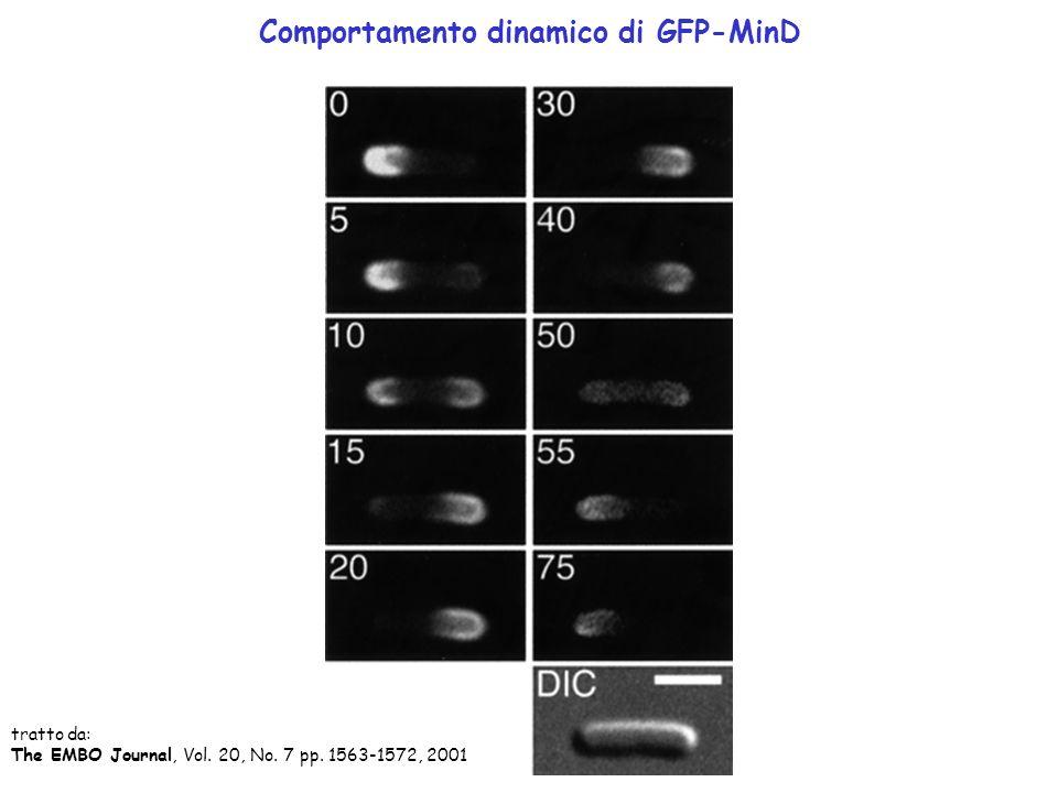 Comportamento dinamico di GFP-MinD tratto da: The EMBO Journal, Vol. 20, No. 7 pp. 1563-1572, 2001