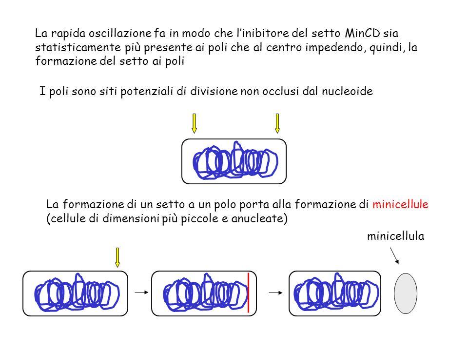 La rapida oscillazione fa in modo che linibitore del setto MinCD sia statisticamente più presente ai poli che al centro impedendo, quindi, la formazio