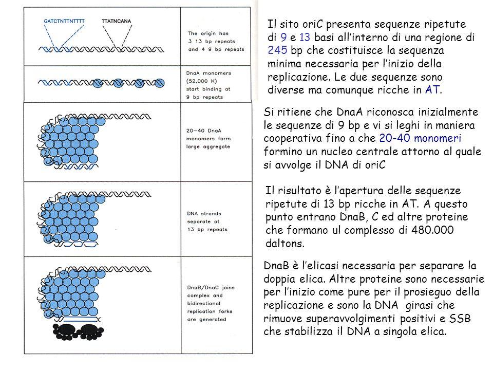 Assemblaggio delle particelle fagiche I geni tardivi dirigono la sintesi di tre tipi diversi di proteine: 1) proteine strutturali del fago 2) proteine che intervengono nellassemblaggio ma non faranno parte del fago 3) proteine coinvolte nel processo di lisi batterica e liberazione dei fagi Le proteine necessarie allassemblaggio vengono sintetizzate contemporameamente e sono utilizzate in catene di montaggio quasi indipendenti fino ad avere il fago maturo Limpacchettamento del DNA avviene quando la testa è matura: circa 500 m di DNA devono essere inseriti in una cavità di appena 0,1 m.