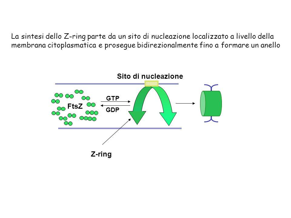 La sintesi dello Z-ring parte da un sito di nucleazione localizzato a livello della membrana citoplasmatica e prosegue bidirezionalmente fino a formar
