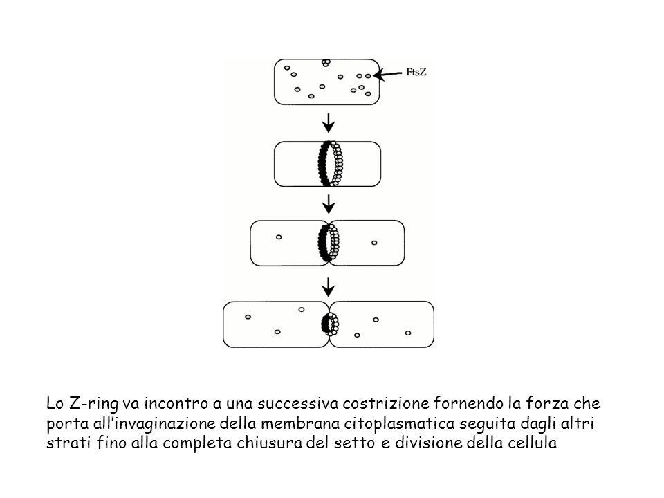 Lo Z-ring va incontro a una successiva costrizione fornendo la forza che porta allinvaginazione della membrana citoplasmatica seguita dagli altri stra