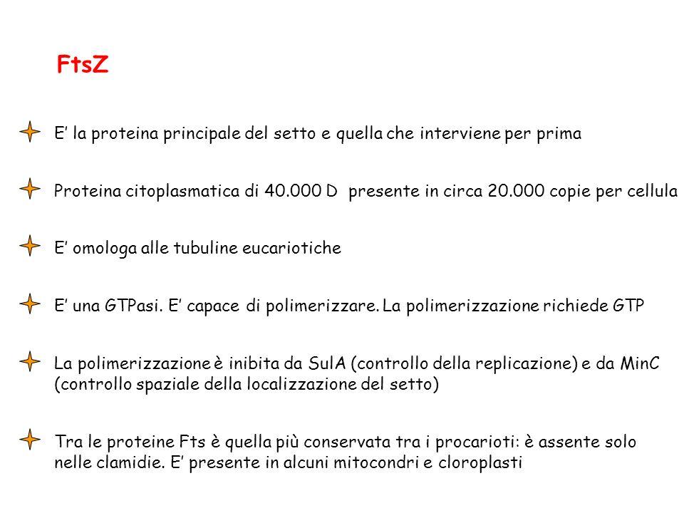 FtsZ E la proteina principale del setto e quella che interviene per prima Proteina citoplasmatica di 40.000 D presente in circa 20.000 copie per cellu