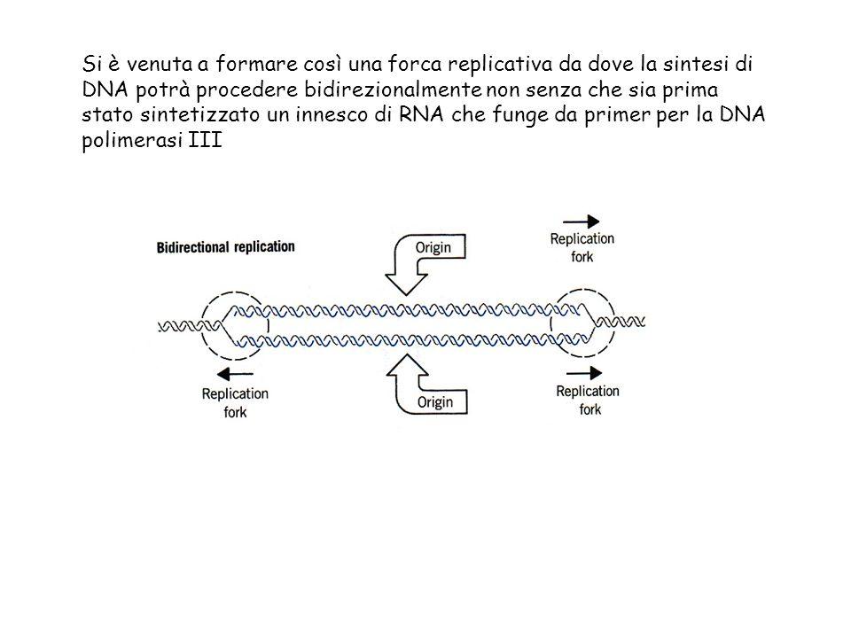 Si è venuta a formare così una forca replicativa da dove la sintesi di DNA potrà procedere bidirezionalmente non senza che sia prima stato sintetizzat