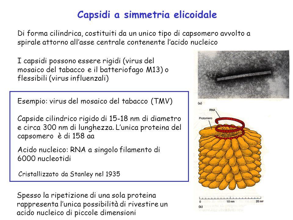 Capsidi a simmetria elicoidale Di forma cilindrica, costituiti da un unico tipo di capsomero avvolto a spirale attorno allasse centrale contenente lac