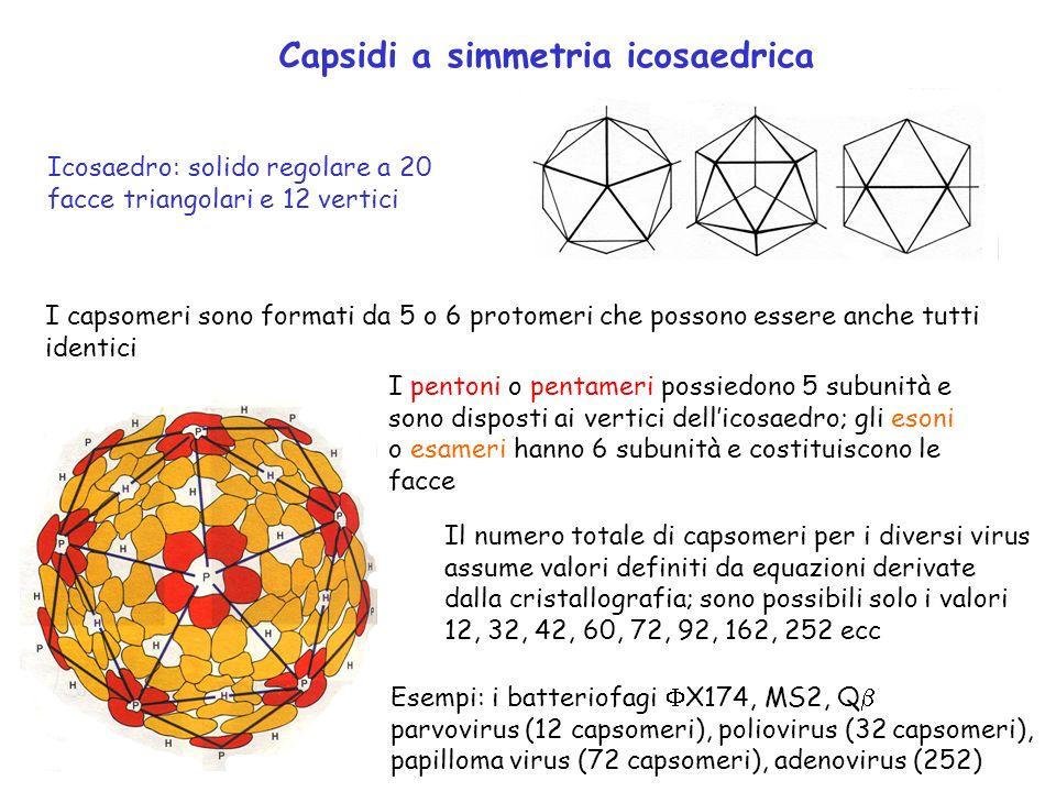 Capsidi a simmetria icosaedrica Icosaedro: solido regolare a 20 facce triangolari e 12 vertici PGMS 295 P414 I capsomeri sono formati da 5 o 6 protome