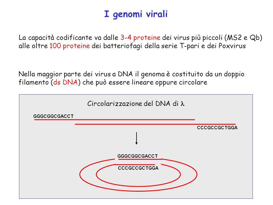 I genomi virali La capacità codificante va dalle 3-4 proteine dei virus più piccoli (MS2 e Qb) alle oltre 100 proteine dei batteriofagi della serie T-