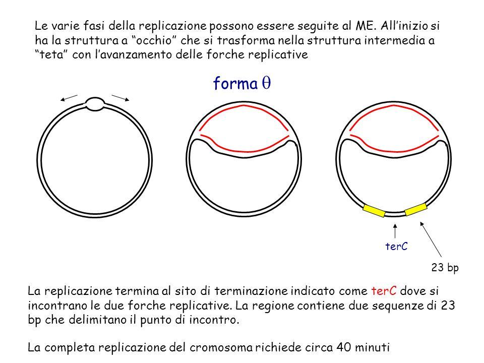 La replicazione del cromosoma è seguita dalla segregazione: processo dove i cromosomi duplicati vengono disposti ai lati opposti della cellula in divisione.