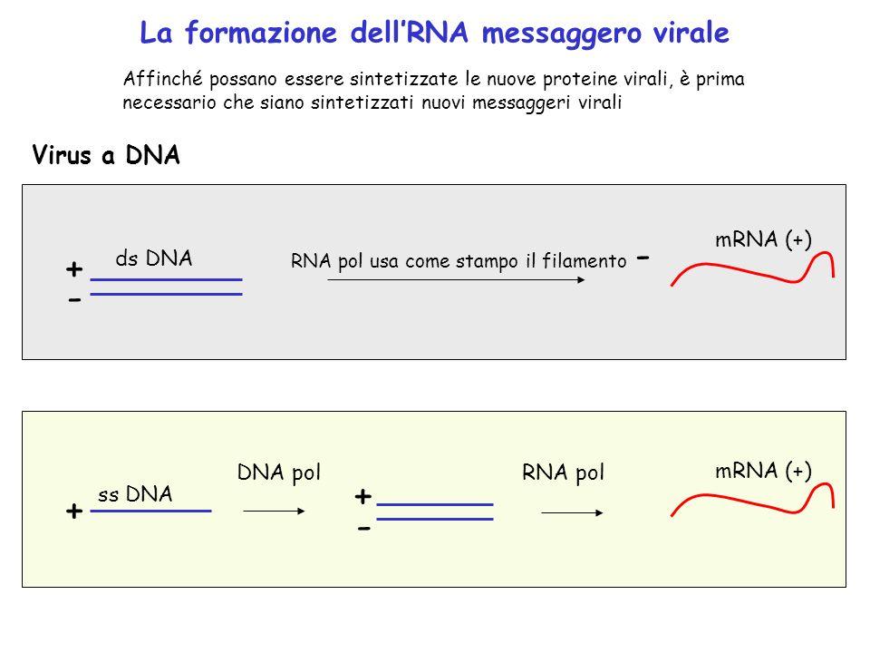 La formazione dellRNA messaggero virale Virus a DNA ds DNA + - RNA pol usa come stampo il filamento - mRNA (+) ss DNA + DNA pol mRNA (+) + - RNA pol A