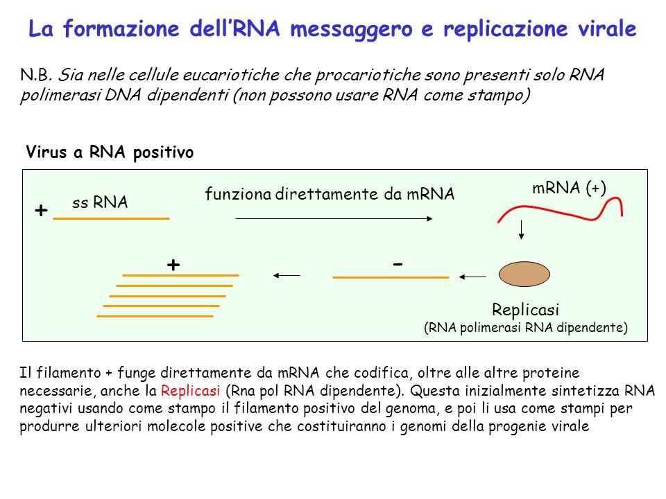 Virus a RNA positivo ss RNA + mRNA (+) funziona direttamente da mRNA B173 - Replicasi (RNA polimerasi RNA dipendente) + La formazione dellRNA messagge