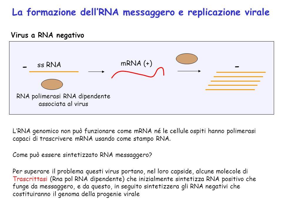 Virus a RNA negativo - ss RNA mRNA (+) RNA polimerasi RNA dipendente associata al virus B172 - La formazione dellRNA messaggero e replicazione virale
