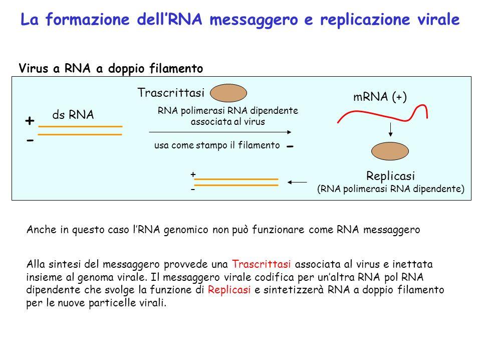 La formazione dellRNA messaggero e replicazione virale Virus a RNA a doppio filamento ds RNA + mRNA (+) RNA polimerasi RNA dipendente associata al vir