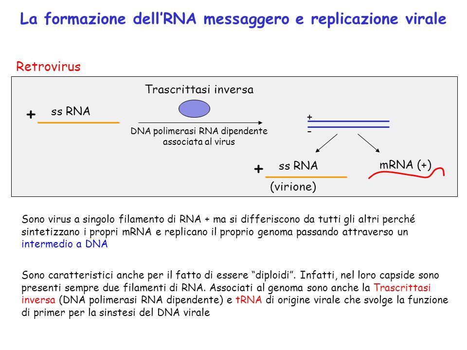 La formazione dellRNA messaggero e replicazione virale + ss RNA mRNA (+) P453 +-+- Trascrittasi inversa DNA polimerasi RNA dipendente associata al vir