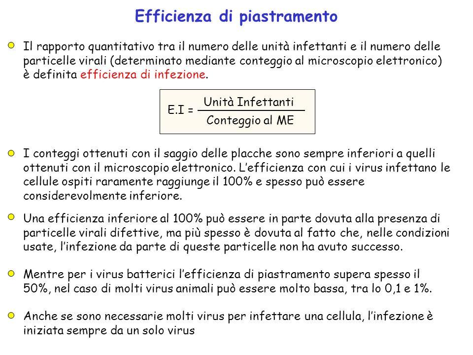 Efficienza di piastramento I conteggi ottenuti con il saggio delle placche sono sempre inferiori a quelli ottenuti con il microscopio elettronico. Lef