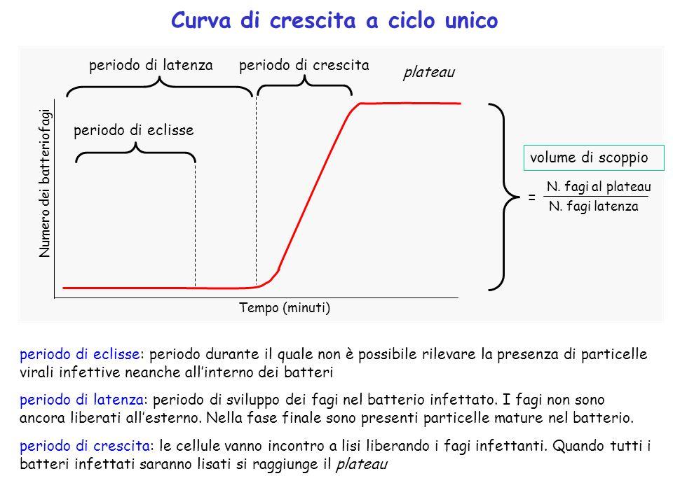 Curva di crescita a ciclo unico periodo di latenza periodo di eclisse periodo di crescita volume di scoppio Tempo (minuti) Numero dei batteriofagi per