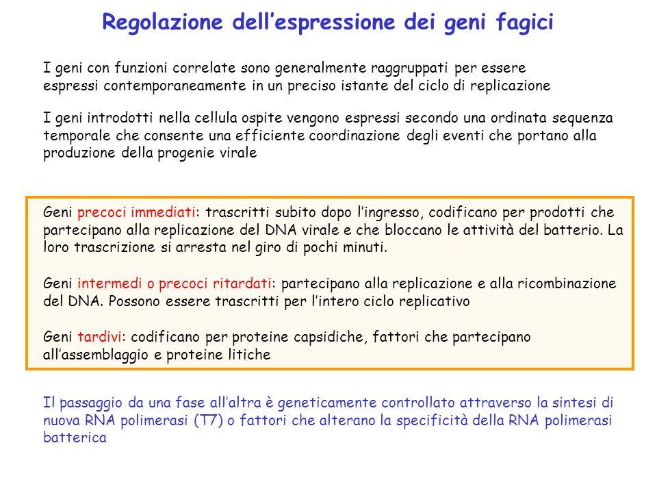 I geni con funzioni correlate sono generalmente raggruppati per essere espressi contemporaneamente in un preciso istante del ciclo di replicazione I g