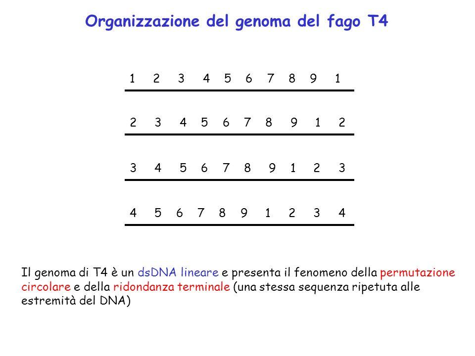 1 2 3 4 5 6 7 8 9 1 2 3 4 5 6 7 8 9 1 2 3 4 5 6 7 8 9 1 2 3 4 5 6 7 8 9 1 2 3 4 Il genoma di T4 è un dsDNA lineare e presenta il fenomeno della permut