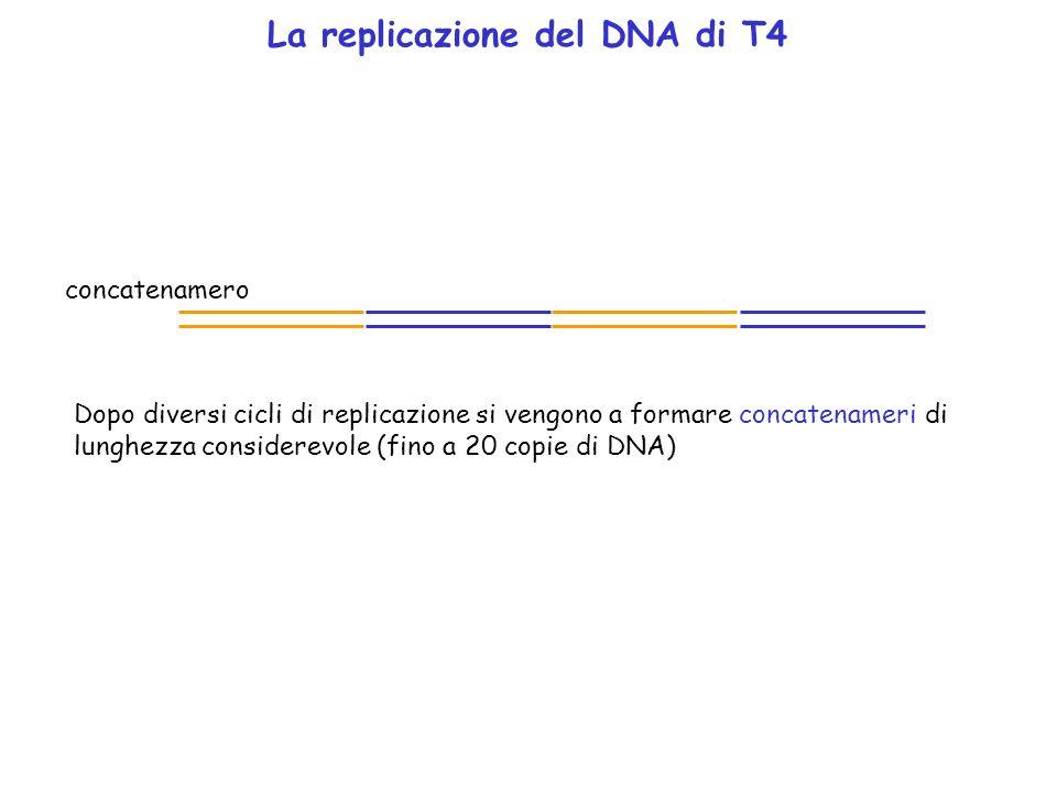 La replicazione del DNA di T4 Dopo diversi cicli di replicazione si vengono a formare concatenameri di lunghezza considerevole (fino a 20 copie di DNA