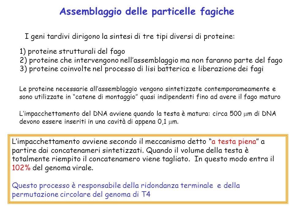 Assemblaggio delle particelle fagiche I geni tardivi dirigono la sintesi di tre tipi diversi di proteine: 1) proteine strutturali del fago 2) proteine