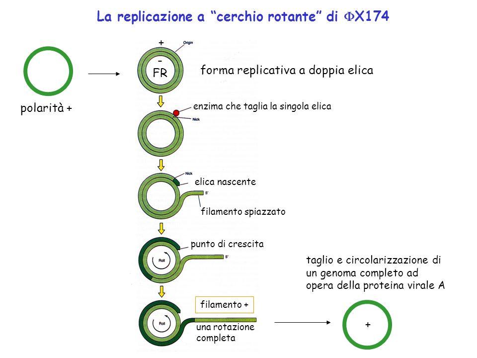 polarità + FR forma replicativa a doppia elica + - enzima che taglia la singola elica elica nascente filamento spiazzato punto di crescita una rotazio