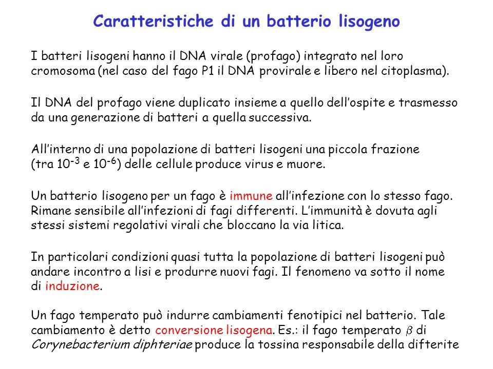 Caratteristiche di un batterio lisogeno I batteri lisogeni hanno il DNA virale (profago) integrato nel loro cromosoma (nel caso del fago P1 il DNA pro