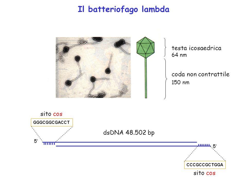 Il batteriofago lambda testa icosaedrica coda non contrattile 64 nm 150 nm GGGCGGCGACCT 5 5 CCCGCCGCTGGA sito cos dsDNA 48.502 bp