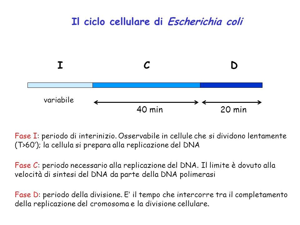 Il ciclo cellulare di Escherichia coli ICD 40 min20 min variabile Fase I: periodo di interinizio. Osservabile in cellule che si dividono lentamente (T