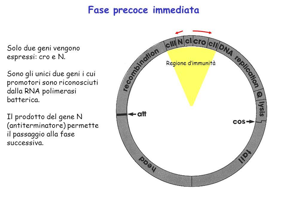Fase precoce immediata Solo due geni vengono espressi: cro e N. Sono gli unici due geni i cui promotori sono riconosciuti dalla RNA polimerasi batteri