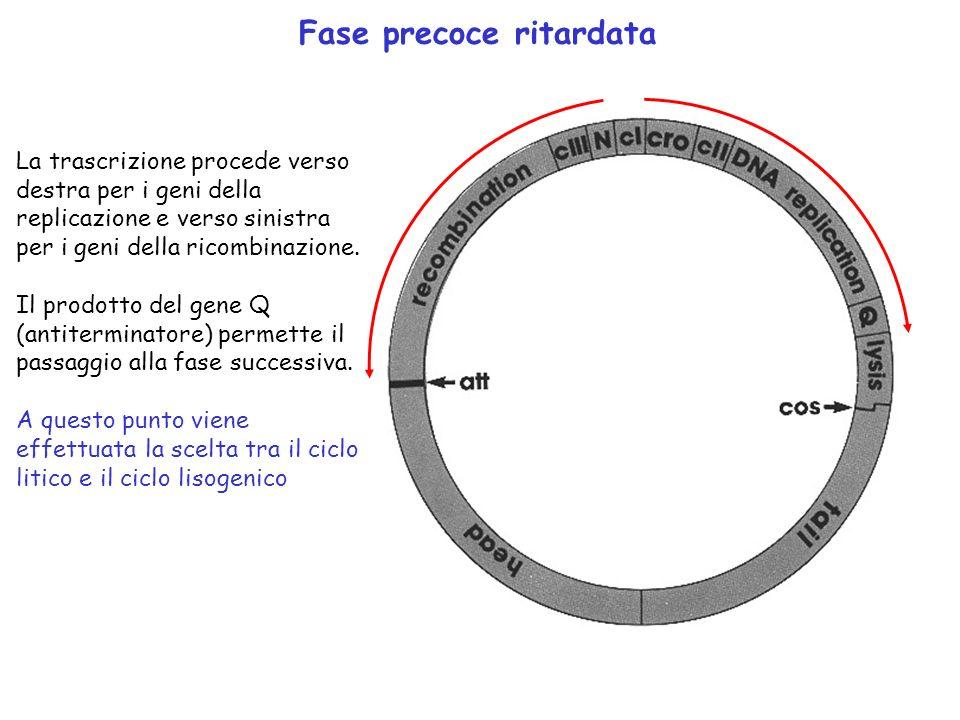 Fase precoce ritardata La trascrizione procede verso destra per i geni della replicazione e verso sinistra per i geni della ricombinazione. Il prodott