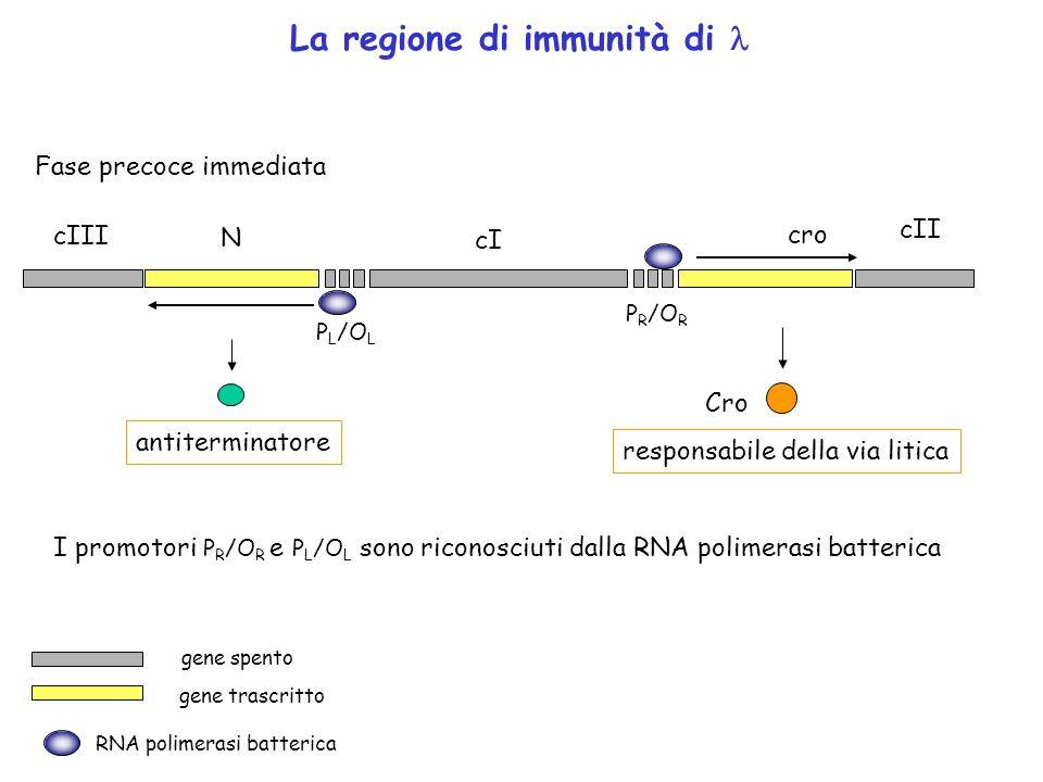 P R /O R P L /O L cro cI N cII cIII La regione di immunità di Fase precoce immediata antiterminatore Cro responsabile della via litica RNA polimerasi