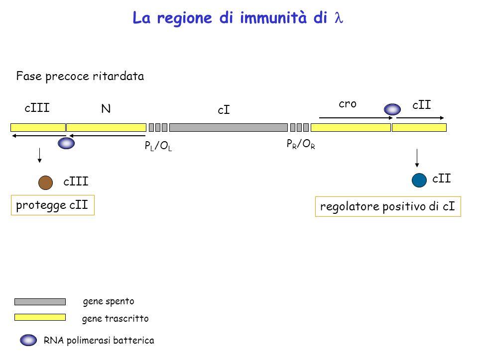 P R /O R P L /O L cro cI N cII cIII La regione di immunità di Fase precoce ritardata protegge cII cII regolatore positivo di cI RNA polimerasi batteri