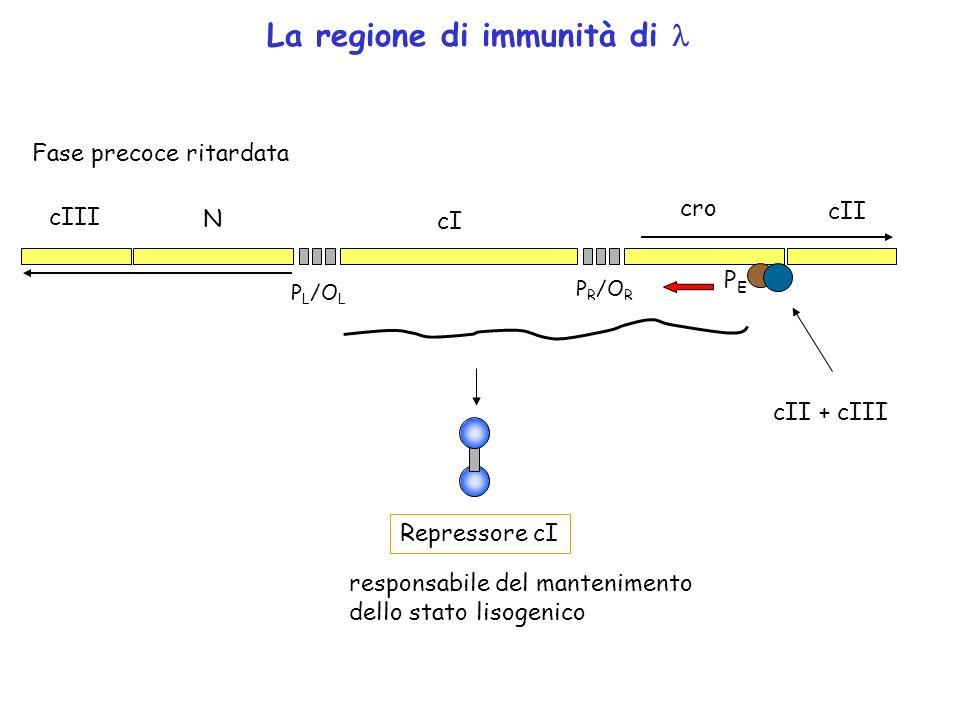 P R /O R P L /O L cro cI N cII cIII La regione di immunità di Fase precoce ritardata cII + cIII Repressore cI PEPE responsabile del mantenimento dello