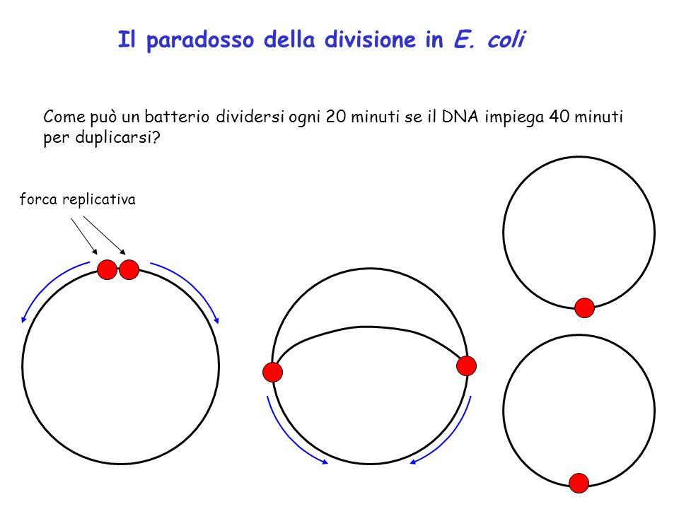 Il paradosso della divisione in E. coli Come può un batterio dividersi ogni 20 minuti se il DNA impiega 40 minuti per duplicarsi? forca replicativa