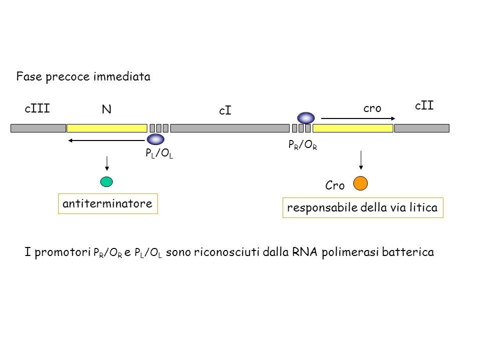P R /O R P L /O L cro cI N cII cIII Fase precoce immediata antiterminatore Cro responsabile della via litica I promotori P R /O R e P L /O L sono rico