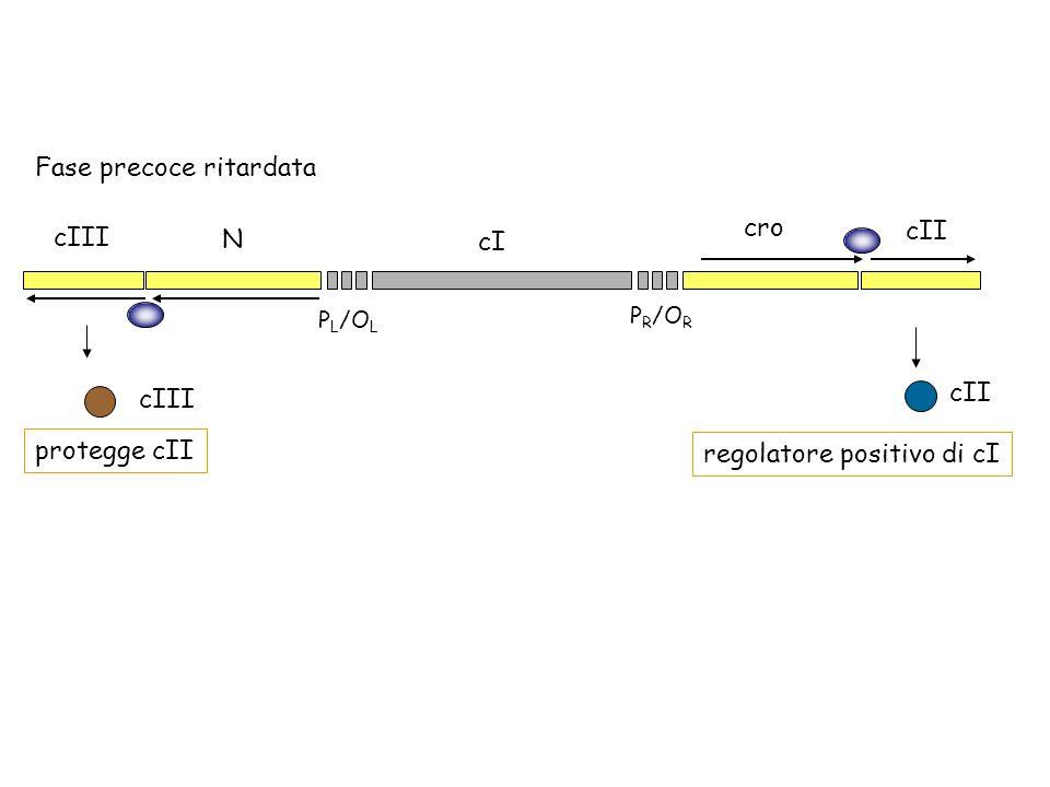 P R /O R P L /O L cro cI N cII cIII Fase precoce ritardata protegge cII cII regolatore positivo di cI cIII