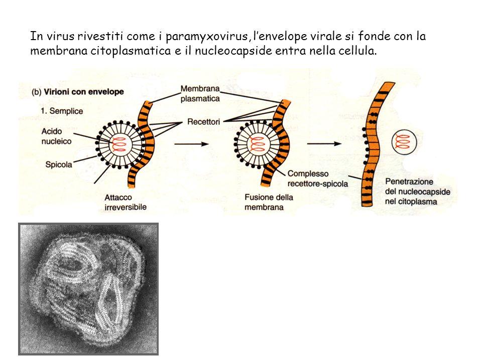 In virus rivestiti come i paramyxovirus, lenvelope virale si fonde con la membrana citoplasmatica e il nucleocapside entra nella cellula.