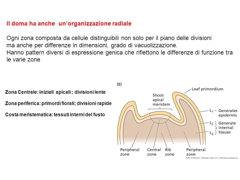 Il doma ha anche unorganizzazione radiale Ogni zona composta da cellule distinguibili non solo per il piano delle divisioni ma anche per differenze in