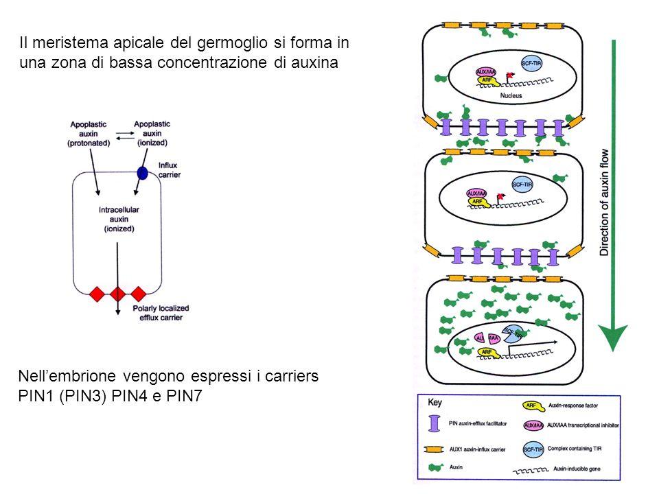 Il meristema apicale del germoglio si forma in una zona di bassa concentrazione di auxina Nellembrione vengono espressi i carriers PIN1 (PIN3) PIN4 e
