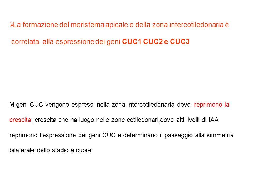 La formazione del meristema apicale e della zona intercotiledonaria è correlata alla espressione dei geni CUC1 CUC2 e CUC3 I geni CUC vengono espressi