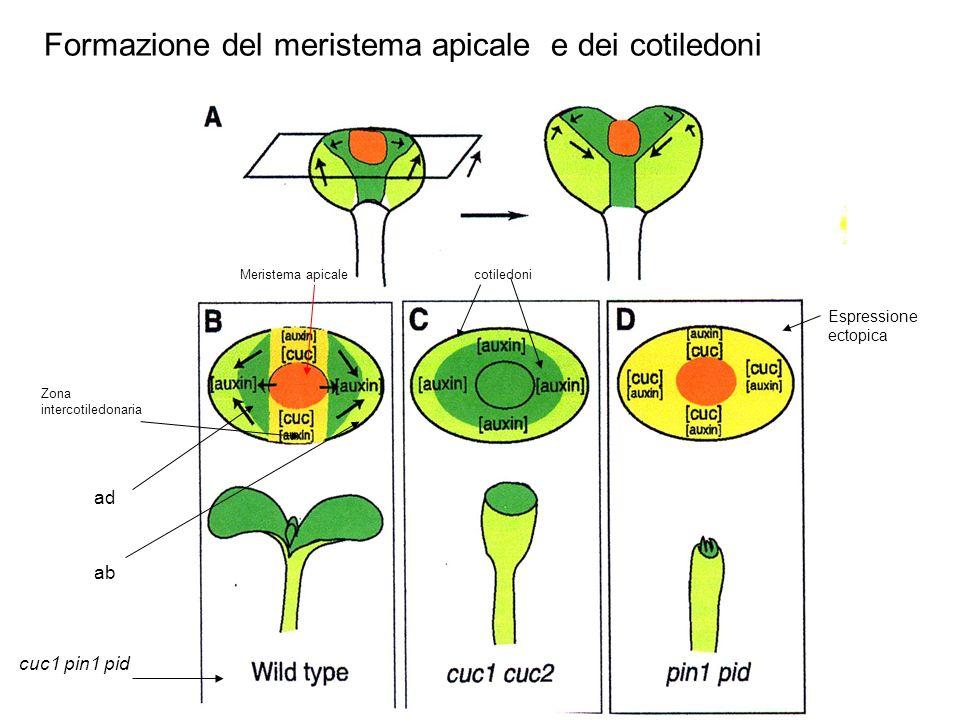Formazione del meristema apicale e dei cotiledoni Meristema apicale Zona intercotiledonaria cotiledoni Espressione ectopica ad ab cuc1 pin1 pid