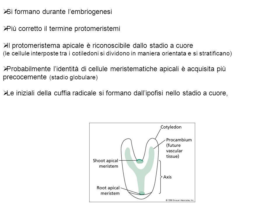 La formazione del meristema apicale dipende dallespressione di geni modulati da IAA Nellembrione precoce i valori di IAA sono elevati e ciò mette in moto il programma di patterning assiale con lespressione dei geni MONOPTEROS (MP; NPH4) Allo stadio globulare tardivo, la rilocalizzazione delle proteine PIN fa si che il flusso di IAA sia diretto verso le zone fiancheggianti (cotiledoni) la zona centrale dove si formerà il meristema La zona centrale diventa povera di IAA, lespressione dei geni MP è più debole che nelle zone cotiledonari La ridotta espressione dei geni MP consente lespressione dei geni CUC (nella zona centrale) necessaria per la determinazione dellidentità del meristema.