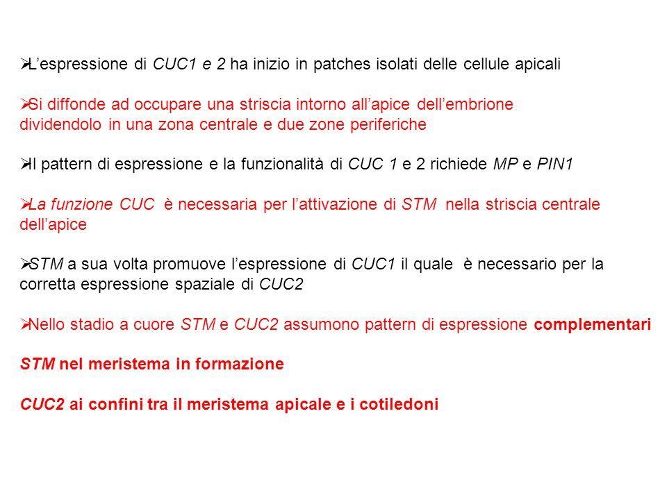 Lespressione di CUC1 e 2 ha inizio in patches isolati delle cellule apicali Si diffonde ad occupare una striscia intorno allapice dellembrione dividen