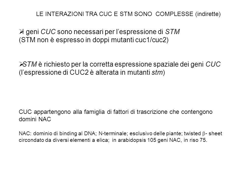 I geni CUC sono necessari per lespressione di STM (STM non è espresso in doppi mutanti cuc1/cuc2) STM è richiesto per la corretta espressione spaziale
