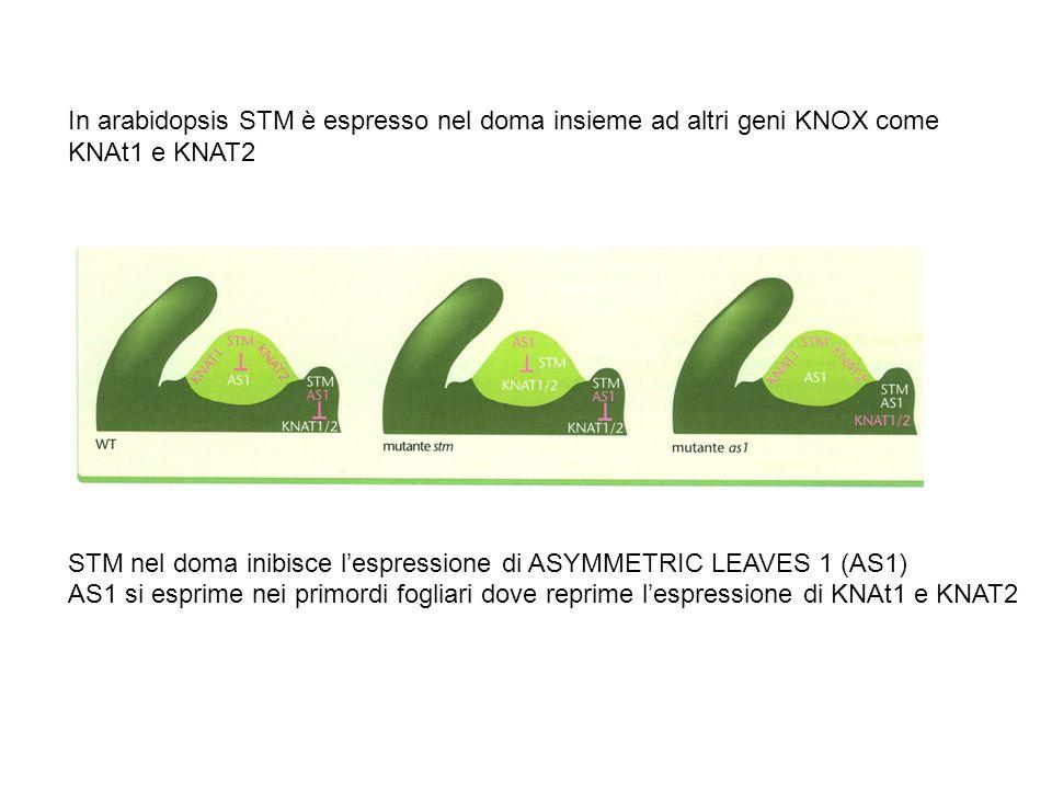 In arabidopsis STM è espresso nel doma insieme ad altri geni KNOX come KNAt1 e KNAT2 STM nel doma inibisce lespressione di ASYMMETRIC LEAVES 1 (AS1) A