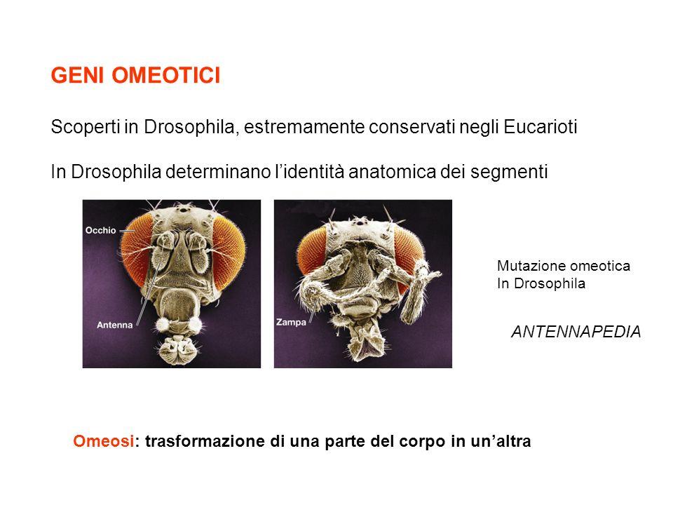 GENI OMEOTICI Scoperti in Drosophila, estremamente conservati negli Eucarioti In Drosophila determinano lidentità anatomica dei segmenti Mutazione ome