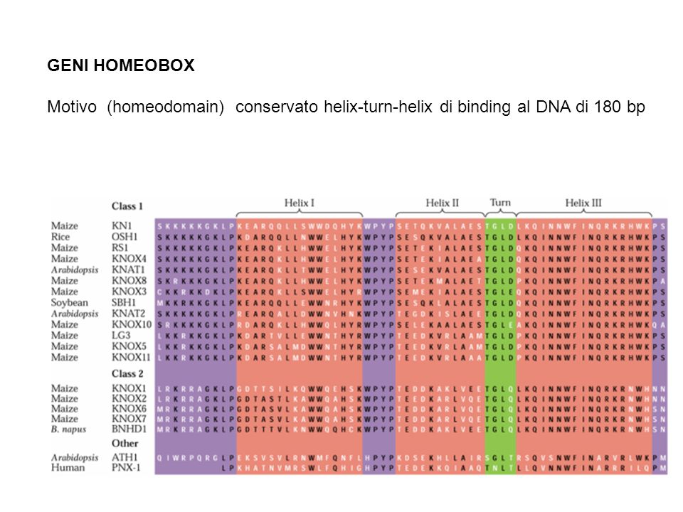GENI HOMEOBOX Motivo (homeodomain) conservato helix-turn-helix di binding al DNA di 180 bp