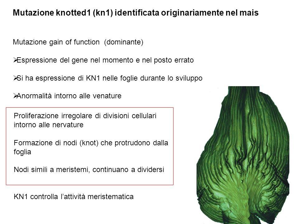 Mutazione knotted1 (kn1) identificata originariamente nel mais Mutazione gain of function (dominante) Espressione del gene nel momento e nel posto err